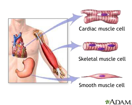 Muscular System - Anatomy & Physiology